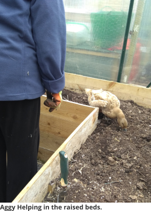 Aggy Helping in the raised beds.